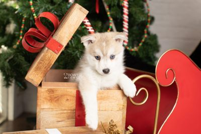 puppy219 week7 BowTiePomsky.com Bowtie Pomsky Puppy For Sale Husky Pomeranian Mini Dog Spokane WA Breeder Blue Eyes Pomskies Celebrity Puppy web1
