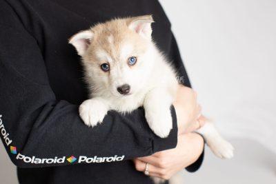 puppy219 week7 BowTiePomsky.com Bowtie Pomsky Puppy For Sale Husky Pomeranian Mini Dog Spokane WA Breeder Blue Eyes Pomskies Celebrity Puppy web8