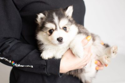 puppy221 week7 BowTiePomsky.com Bowtie Pomsky Puppy For Sale Husky Pomeranian Mini Dog Spokane WA Breeder Blue Eyes Pomskies Celebrity Puppy web7