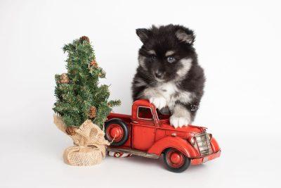 puppy222 week7 BowTiePomsky.com Bowtie Pomsky Puppy For Sale Husky Pomeranian Mini Dog Spokane WA Breeder Blue Eyes Pomskies Celebrity Puppy web3
