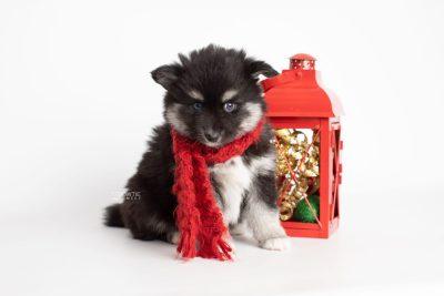 puppy222 week7 BowTiePomsky.com Bowtie Pomsky Puppy For Sale Husky Pomeranian Mini Dog Spokane WA Breeder Blue Eyes Pomskies Celebrity Puppy web5