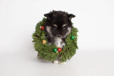 puppy222 week7 BowTiePomsky.com Bowtie Pomsky Puppy For Sale Husky Pomeranian Mini Dog Spokane WA Breeder Blue Eyes Pomskies Celebrity Puppy web6
