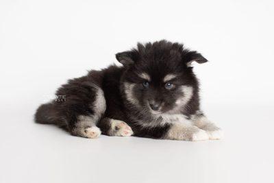 puppy222 week7 BowTiePomsky.com Bowtie Pomsky Puppy For Sale Husky Pomeranian Mini Dog Spokane WA Breeder Blue Eyes Pomskies Celebrity Puppy web7