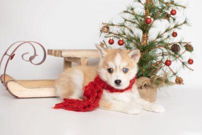 puppy224 week7 BowTiePomsky.com Bowtie Pomsky Puppy For Sale Husky Pomeranian Mini Dog Spokane WA Breeder Blue Eyes Pomskies Celebrity Puppy web2