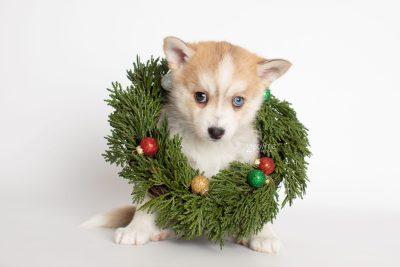 puppy224 week7 BowTiePomsky.com Bowtie Pomsky Puppy For Sale Husky Pomeranian Mini Dog Spokane WA Breeder Blue Eyes Pomskies Celebrity Puppy web5