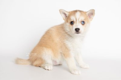 puppy224 week7 BowTiePomsky.com Bowtie Pomsky Puppy For Sale Husky Pomeranian Mini Dog Spokane WA Breeder Blue Eyes Pomskies Celebrity Puppy web6