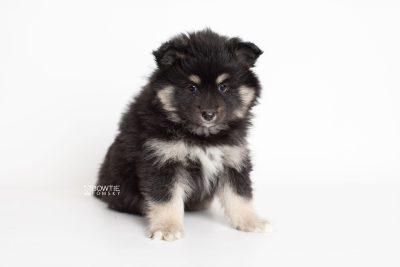 puppy226 week7 BowTiePomsky.com Bowtie Pomsky Puppy For Sale Husky Pomeranian Mini Dog Spokane WA Breeder Blue Eyes Pomskies Celebrity Puppy web6