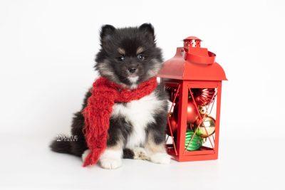 puppy227 week7 BowTiePomsky.com Bowtie Pomsky Puppy For Sale Husky Pomeranian Mini Dog Spokane WA Breeder Blue Eyes Pomskies Celebrity Puppy web2