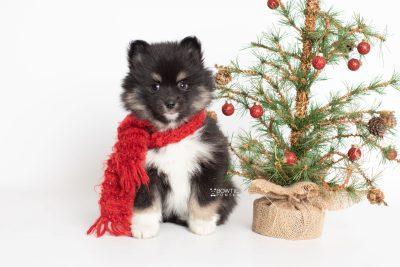 puppy227 week7 BowTiePomsky.com Bowtie Pomsky Puppy For Sale Husky Pomeranian Mini Dog Spokane WA Breeder Blue Eyes Pomskies Celebrity Puppy web4