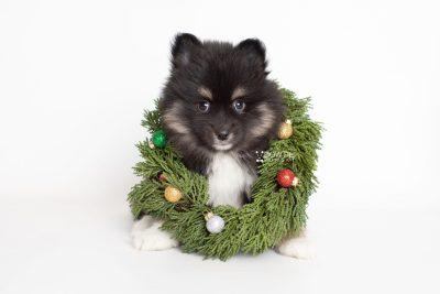 puppy227 week7 BowTiePomsky.com Bowtie Pomsky Puppy For Sale Husky Pomeranian Mini Dog Spokane WA Breeder Blue Eyes Pomskies Celebrity Puppy web6