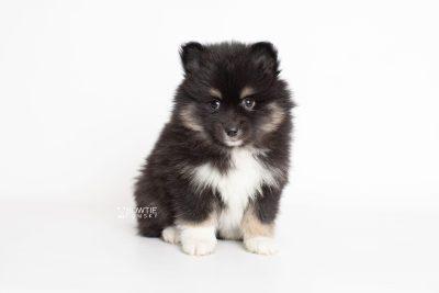 puppy227 week7 BowTiePomsky.com Bowtie Pomsky Puppy For Sale Husky Pomeranian Mini Dog Spokane WA Breeder Blue Eyes Pomskies Celebrity Puppy web7