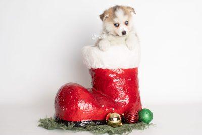 puppy230 week7 BowTiePomsky.com Bowtie Pomsky Puppy For Sale Husky Pomeranian Mini Dog Spokane WA Breeder Blue Eyes Pomskies Celebrity Puppy web1