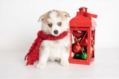 puppy230 week7 BowTiePomsky.com Bowtie Pomsky Puppy For Sale Husky Pomeranian Mini Dog Spokane WA Breeder Blue Eyes Pomskies Celebrity Puppy web2
