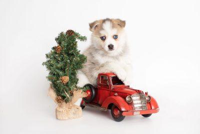 puppy230 week7 BowTiePomsky.com Bowtie Pomsky Puppy For Sale Husky Pomeranian Mini Dog Spokane WA Breeder Blue Eyes Pomskies Celebrity Puppy web4
