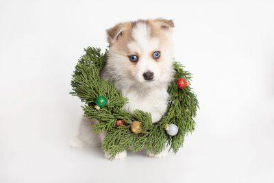 puppy230 week7 BowTiePomsky.com Bowtie Pomsky Puppy For Sale Husky Pomeranian Mini Dog Spokane WA Breeder Blue Eyes Pomskies Celebrity Puppy web5