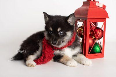 puppy234 week7 BowTiePomsky.com Bowtie Pomsky Puppy For Sale Husky Pomeranian Mini Dog Spokane WA Breeder Blue Eyes Pomskies Celebrity Puppy web3