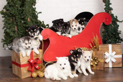 puppy238 week7 BowTiePomsky.com Bowtie Pomsky Puppy For Sale Husky Pomeranian Mini Dog Spokane WA Breeder Blue Eyes Pomskies Celebrity Puppy web
