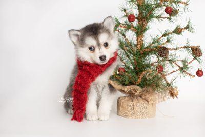 puppy238 week7 BowTiePomsky.com Bowtie Pomsky Puppy For Sale Husky Pomeranian Mini Dog Spokane WA Breeder Blue Eyes Pomskies Celebrity Puppy web4