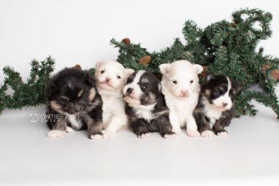 puppy239-243 week3 BowTiePomsky.com Bowtie Pomsky Puppy For Sale Husky Pomeranian Mini Dog Spokane WA Breeder Blue Eyes Pomskies Celebrity Puppy web1