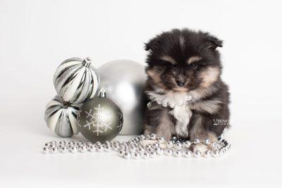 puppy241 week5 BowTiePomsky.com Bowtie Pomsky Puppy For Sale Husky Pomeranian Mini Dog Spokane WA Breeder Blue Eyes Pomskies Celebrity Puppy web4