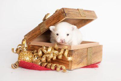 puppy242 week3 BowTiePomsky.com Bowtie Pomsky Puppy For Sale Husky Pomeranian Mini Dog Spokane WA Breeder Blue Eyes Pomskies Celebrity Puppy web2