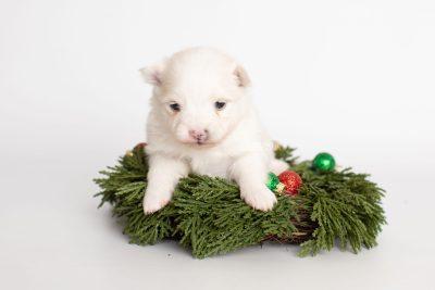 puppy242 week3 BowTiePomsky.com Bowtie Pomsky Puppy For Sale Husky Pomeranian Mini Dog Spokane WA Breeder Blue Eyes Pomskies Celebrity Puppy web3