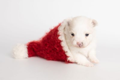 puppy242 week3 BowTiePomsky.com Bowtie Pomsky Puppy For Sale Husky Pomeranian Mini Dog Spokane WA Breeder Blue Eyes Pomskies Celebrity Puppy web4