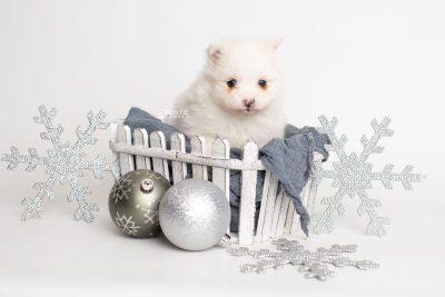 puppy242 week5 BowTiePomsky.com Bowtie Pomsky Puppy For Sale Husky Pomeranian Mini Dog Spokane WA Breeder Blue Eyes Pomskies Celebrity Puppy web3