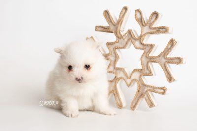 puppy242 week5 BowTiePomsky.com Bowtie Pomsky Puppy For Sale Husky Pomeranian Mini Dog Spokane WA Breeder Blue Eyes Pomskies Celebrity Puppy web5