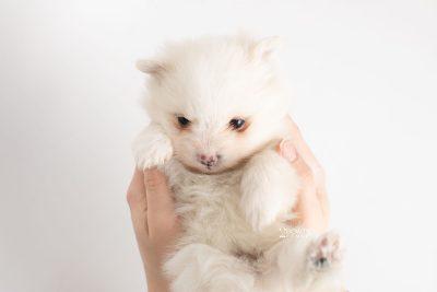 puppy242 week5 BowTiePomsky.com Bowtie Pomsky Puppy For Sale Husky Pomeranian Mini Dog Spokane WA Breeder Blue Eyes Pomskies Celebrity Puppy web7