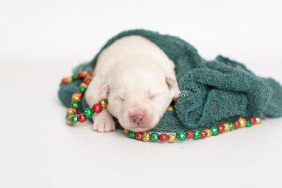 puppy244 week1 BowTiePomsky.com Bowtie Pomsky Puppy For Sale Husky Pomeranian Mini Dog Spokane WA Breeder Blue Eyes Pomskies Celebrity Puppy web2