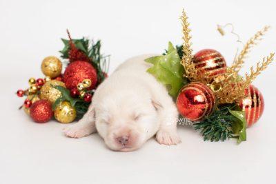 puppy244 week1 BowTiePomsky.com Bowtie Pomsky Puppy For Sale Husky Pomeranian Mini Dog Spokane WA Breeder Blue Eyes Pomskies Celebrity Puppy web4