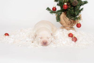puppy244 week1 BowTiePomsky.com Bowtie Pomsky Puppy For Sale Husky Pomeranian Mini Dog Spokane WA Breeder Blue Eyes Pomskies Celebrity Puppy web5