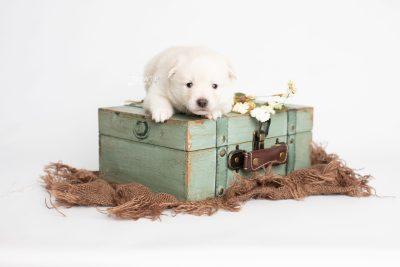 puppy244 week3 BowTiePomsky.com Bowtie Pomsky Puppy For Sale Husky Pomeranian Mini Dog Spokane WA Breeder Blue Eyes Pomskies Celebrity Puppy web2