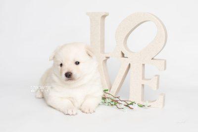 puppy244 week3 BowTiePomsky.com Bowtie Pomsky Puppy For Sale Husky Pomeranian Mini Dog Spokane WA Breeder Blue Eyes Pomskies Celebrity Puppy web5