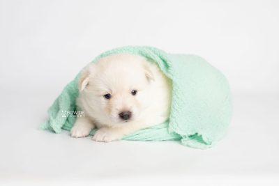 puppy244 week3 BowTiePomsky.com Bowtie Pomsky Puppy For Sale Husky Pomeranian Mini Dog Spokane WA Breeder Blue Eyes Pomskies Celebrity Puppy web6