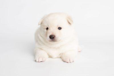 puppy244 week3 BowTiePomsky.com Bowtie Pomsky Puppy For Sale Husky Pomeranian Mini Dog Spokane WA Breeder Blue Eyes Pomskies Celebrity Puppy web7