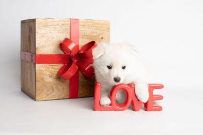 puppy244 week5 BowTiePomsky.com Bowtie Pomsky Puppy For Sale Husky Pomeranian Mini Dog Spokane WA Breeder Blue Eyes Pomskies Celebrity Puppy web2