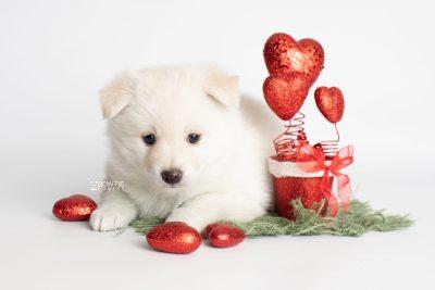 puppy244 week5 BowTiePomsky.com Bowtie Pomsky Puppy For Sale Husky Pomeranian Mini Dog Spokane WA Breeder Blue Eyes Pomskies Celebrity Puppy web4