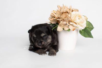 puppy245 week3 BowTiePomsky.com Bowtie Pomsky Puppy For Sale Husky Pomeranian Mini Dog Spokane WA Breeder Blue Eyes Pomskies Celebrity Puppy web2