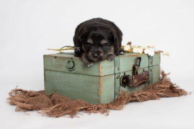puppy245 week3 BowTiePomsky.com Bowtie Pomsky Puppy For Sale Husky Pomeranian Mini Dog Spokane WA Breeder Blue Eyes Pomskies Celebrity Puppy web5