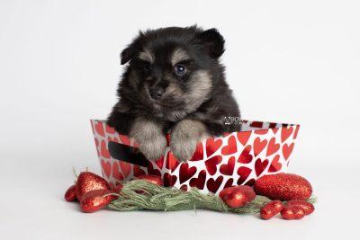 puppy245 week5 BowTiePomsky.com Bowtie Pomsky Puppy For Sale Husky Pomeranian Mini Dog Spokane WA Breeder Blue Eyes Pomskies Celebrity Puppy web2