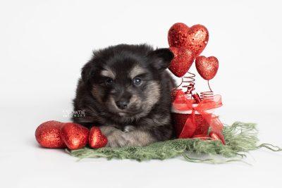 puppy245 week5 BowTiePomsky.com Bowtie Pomsky Puppy For Sale Husky Pomeranian Mini Dog Spokane WA Breeder Blue Eyes Pomskies Celebrity Puppy web4