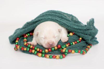 puppy246 week1 BowTiePomsky.com Bowtie Pomsky Puppy For Sale Husky Pomeranian Mini Dog Spokane WA Breeder Blue Eyes Pomskies Celebrity Puppy web2