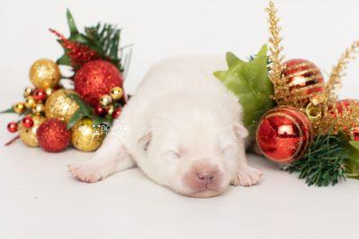 puppy246 week1 BowTiePomsky.com Bowtie Pomsky Puppy For Sale Husky Pomeranian Mini Dog Spokane WA Breeder Blue Eyes Pomskies Celebrity Puppy web4