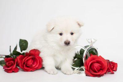 puppy246 week5 BowTiePomsky.com Bowtie Pomsky Puppy For Sale Husky Pomeranian Mini Dog Spokane WA Breeder Blue Eyes Pomskies Celebrity Puppy web6