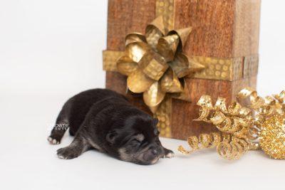 puppy247 week1 BowTiePomsky.com Bowtie Pomsky Puppy For Sale Husky Pomeranian Mini Dog Spokane WA Breeder Blue Eyes Pomskies Celebrity Puppy web1