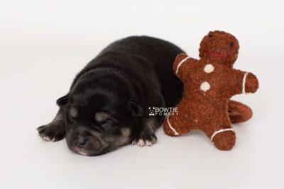 puppy247 week1 BowTiePomsky.com Bowtie Pomsky Puppy For Sale Husky Pomeranian Mini Dog Spokane WA Breeder Blue Eyes Pomskies Celebrity Puppy web3