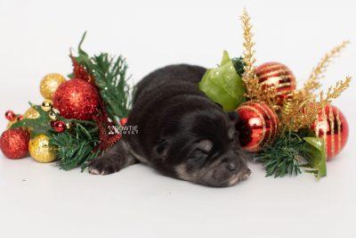 puppy247 week1 BowTiePomsky.com Bowtie Pomsky Puppy For Sale Husky Pomeranian Mini Dog Spokane WA Breeder Blue Eyes Pomskies Celebrity Puppy web4