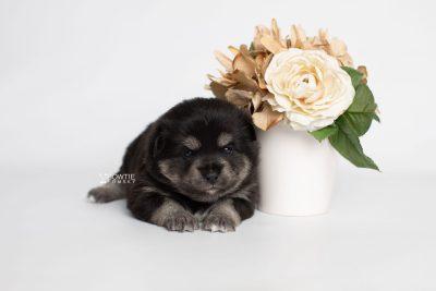 puppy247 week3 BowTiePomsky.com Bowtie Pomsky Puppy For Sale Husky Pomeranian Mini Dog Spokane WA Breeder Blue Eyes Pomskies Celebrity Puppy web2